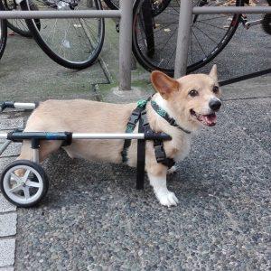 Psík s invalidným vozíkom.